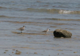 Grey Plover (Pluvialis squatarola) and Great Knot (Calidris tenuirostris)