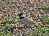 Black-crowned Sparrow-Lark (Eremopterix nigriceps)