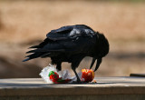 Raven (Corvus corax) - korp