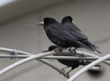 Eastern Rook (Corvus frugilegus pastinator)
