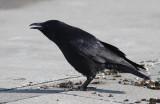 Carrion Crow (Corvus (corone) orientalis)