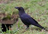 Large-billed Crow (Corvus macrorhynchos)