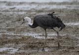 Hooded Crane (Grus monacha)