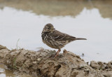 Buff-bellied Pipit (Anthus rubescens japonicus)