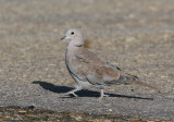 Eurasian Collared-Dove (Streptopelia decaocto) - turkduva