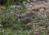 Rufous-crowned Sparrow (Aimophila ruficeps)