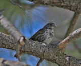Thick-billed Fox Sparrow (Passerella (iliaca) megarhyncha)