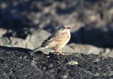 Savannah (Ipswich) Sparrow (Passerculus sandwichensis princeps)
