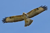 Common Buzzard (Buteo buteo) - ormvråk