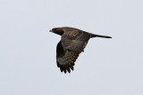 European Honey Buzzard (Pernis apivorus) - bivråk