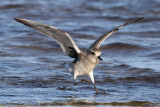 Grey Plover (Pluvialis squatarola) - kustpipare