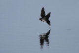 Barn Swallows catching insects