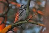 Northern Hawk-Owl (Surnia ulula) - hökuggla