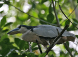 Boat-billed Heron (Cochlearius albus)