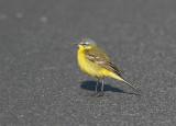 Yellow Wagtail (Motacilla flava flava)