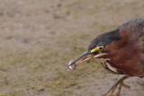 Green-Back Heron