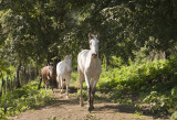 3 Horses in Step