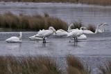 Whooper Swan - Sangsvane - Cygnus cygnus
