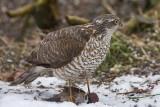 Sparrowhawk - Spurvehøg juv - Accipiter nisus