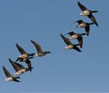 Pale-Bellied Brent Goose - Lysbuget Knortegås - Branta bernicla