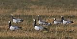 Barnacle Goose - Bramgås - Branta leucopsis