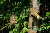 Greenfinch and Tree Sparrow at the bird table