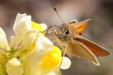 Essex Skipper - Stregbredpande - Thymelicus lineola