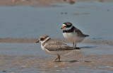 Ringed Plover ad and juv - Stor Præstekrave - Charadrius hiaticula