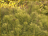 Evergreen Bushes with Scotch Broom