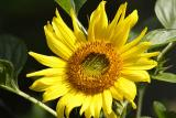 sunflower 001.jpg