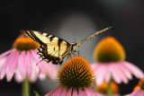 eastern tiger swallowtail 006.jpg