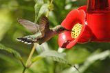 ruby-throated hummingtbird 020.jpg