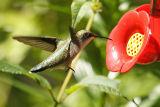 ruby-throated hummingtbird 021.jpg