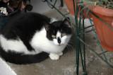 Cats of Folegandros - 2