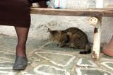 Cats of Folegandros - 4