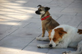 Dogs of Oia