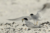 0002d: Least Terns at the Gulf Islands National Seashore