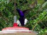 P7101294-Hummingbird4.JPG