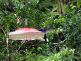 P7101301-Hummingbird5.JPG