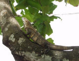 P7111649-Iguana.jpg