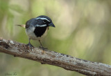 105-Amphispiza-11-Black-throated-Sparrow.jpg