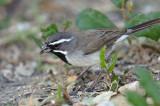 105-Amphispiza-13-Black-throated-Sparrow.jpg