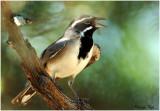 105-Amphispiza-15-Black-throated-Sparrow.jpg