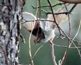 109-Aimophila-11-Rufous-crowned-Sparrow.jpg
