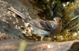 111-Spizella-11-Field-Sparrow.jpg