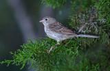 111-Spizella-13-Field-Sparrow.jpg