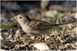 111-Spizella-15-Field-Sparrow.jpg