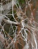 111-Spizella-17-Field-Sparrow.jpg