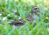 111-Spizella-23-Chipping-Sparrow.jpg