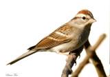 111-Spizella-25-Chipping-Sparrow.jpg